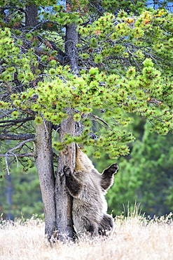 Grizzly rubbing a trunk, Chilcotin Mountains Canada