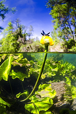 Damselfly on Yellow water lily flower, River Lez France