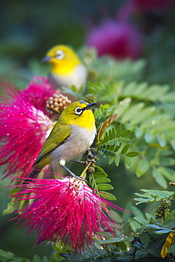 Oriental white-eye bird on a branch, Royal Bardia NP Nepal