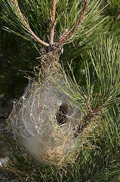 Pine Processionary moth nest, Etna Sicily