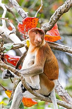 Proboscis monkey on a branch in forest, Malaysia Bako