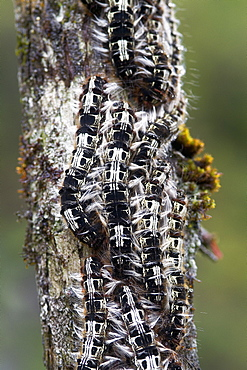 Caterpillars on a log in the woods, Mata Atlantica Brazil