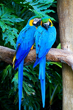 Blue and yellow Macaws, Serra Geral Mata Atlantica Brazil