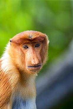 Portrait of Proboscis Monkey, Borneo Malaysia Sabah Labuk Bay