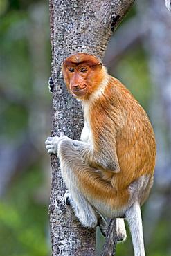 Proboscis monkey on a trunk, Sabah Borneo Malaysia Labuk Bay