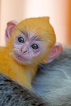 Young Silvery Leaf Monkey, Labuk Bay Borneo Malaysia