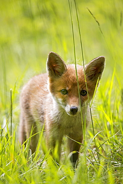 Young Red Fox in the tall grass, France