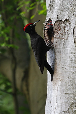 Black woodpecker feeding chicks, Offendorf Alsace France