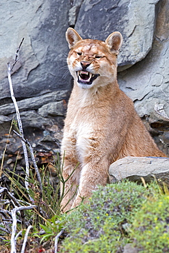 Puma grinning in the scrub, Torres del Paine Chile