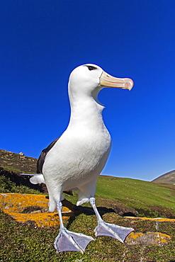 Black-browded albatros on a rock, Falkland Islands