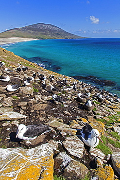 Black-browded albatros nesting colony, Falkland Islands