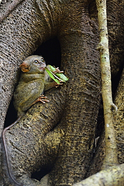 Insect Spectral Tarsier, Sulawesi
