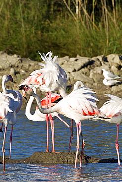 Flamingos at nest, Pont de Gau Camargue France