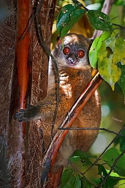 Gray-backed Sportive Lemur, Lokobe Nosy Be Madagascar