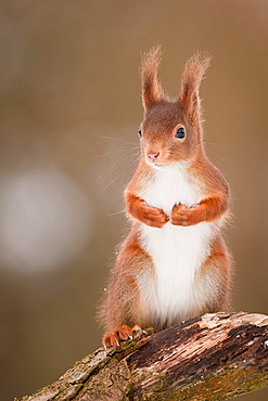 Red squirrel on a stump, Northern Vosges France