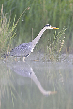 Grey Heron on the prowl in the water, Dombes France