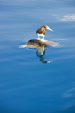Brown Booby on Sea Turtle at surface- Gulf of California