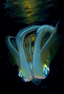 Longfin reefsquid at night, Fiji Islands