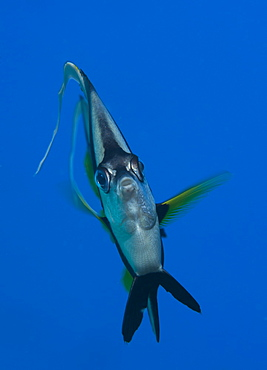Portrait of pennant bannerfish, Fiji Islands
