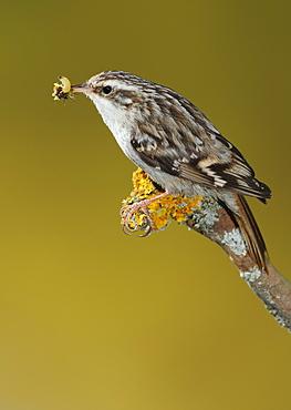 Short-toed Treecreeper feeding on a branch, Spain