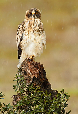 Booted Eagle on a stump, Spain