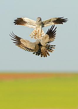 Montagu's Harriers fighting in flight, Spain