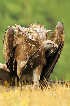 Griffon Vulture on ground- Spain