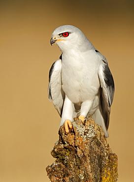 Black-winged Kite on stump, Spain