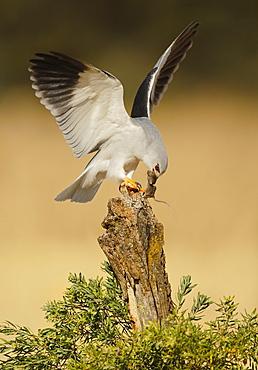 Black-winged Kite and prey on stump, Spain