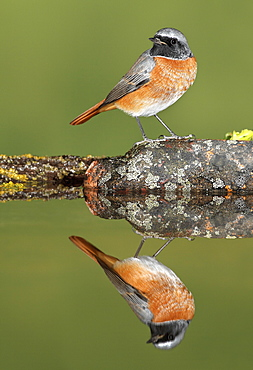 Common Redstart on bank and reflection, Spain