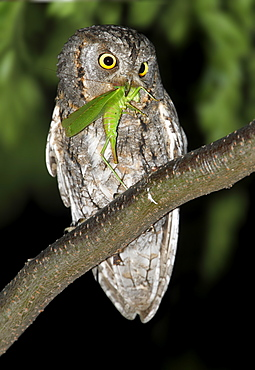 Eurasian Scops Owl eating a grasshopper at night, Spain