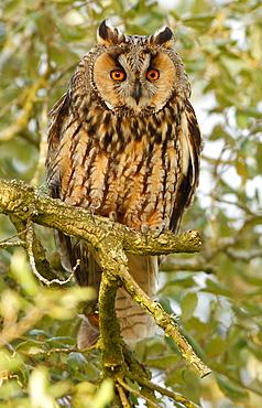 Long-eared Owl on a branch , Spain