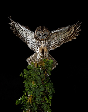 Tawny Owl landing on a branch , Spain