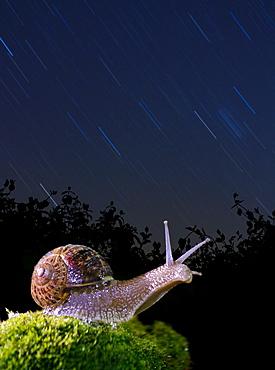 Burgundy snail in the stars, Spain