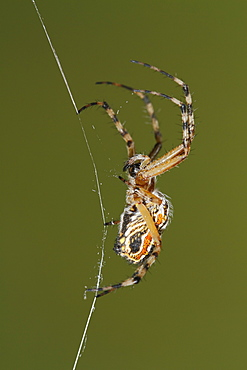 Golden silk orb-weaver on web, Spain