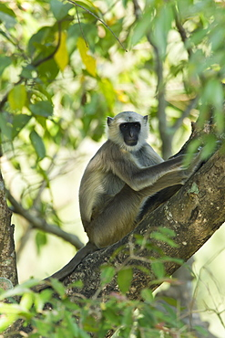 Hanuman Langur monkey on trunk, Royal Bardia NP Nepal