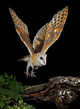 Barn owl flying at night and coming to branch to perch-Spain