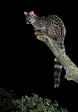 Common genet on a branch at night, Spain