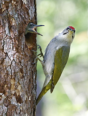 Male Grey-headed woodpecker and chick at nest, Finland