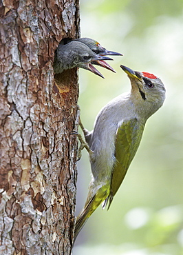 Female Grey-headed woodpecker and chicks at nest, Finland