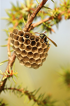 Paper wasp watching over her nest with larvae, France