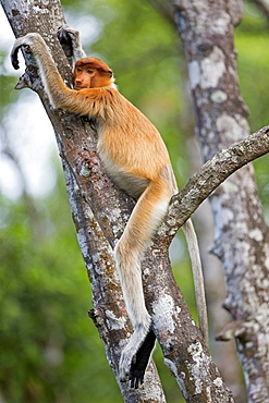 Proboscis Monkey on trunk, Labuk Bay Sabah Borneo Malaysia