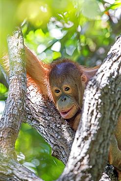 Young orangutan near its nest, Sepilok Borneo Malaysia