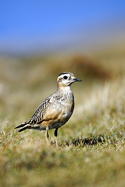 Eurasian Dotterel on grass, Great Orme  Conway Wales UK