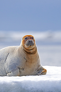 Bearded seal at rest on ice, Barter Island Alaska USA