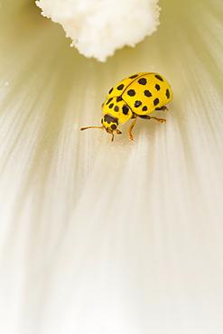 22-spot ladybird on a white flower, Alsace France