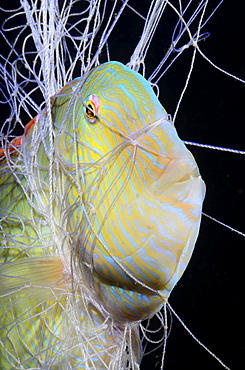 Fish in a fisherman net at night in the Mediterranean sea