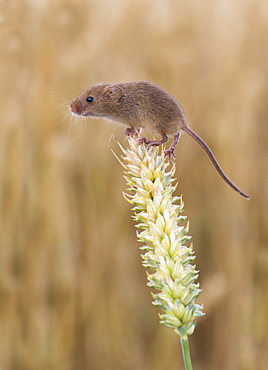 Harvest mouse on wheat in summer GB
