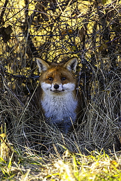 Red fox in the bushes, France