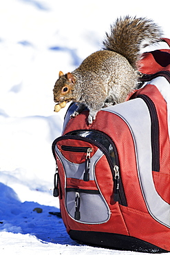 Grey squirrel searching for a bag, Quebec Canada